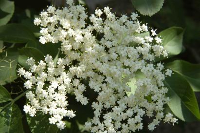 Sambucus nigra 6
